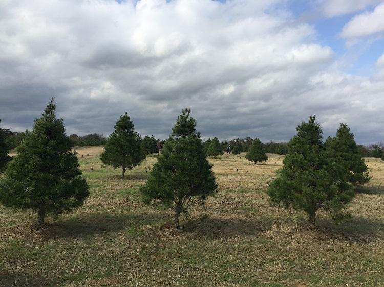 Elgin Christmas Tree Farm - Cut Your Own Christmas Tree At Elgin Christmas Tree Farm Elgin, TX