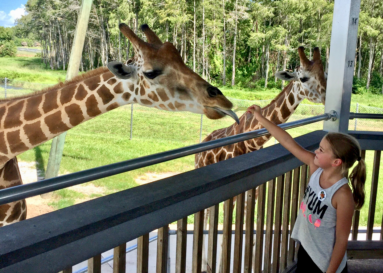 Giraffe feeding at Lion Country Safari in The Palm Beaches